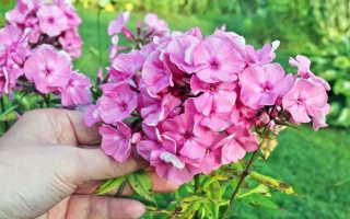 Выращивание флоксов в саду и в домашних условиях