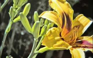 Выращивание неприхотливого цветка — лилейник