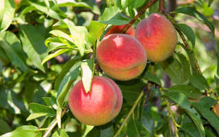 Выращивание персика, сорта