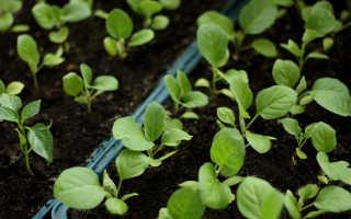 Брюссельская капуста выращивание – секреты, выращивание дома и в открытом грунте