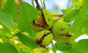 Грецкий орех в саду, процесс созревания