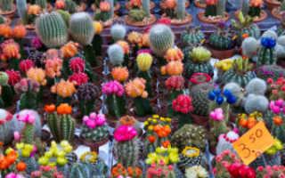 Выращивание Гимнокалициума: кактус дома
