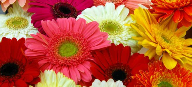 Все о выращивании цветка гербера