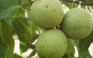 Грецкий орех дерево