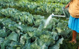 Правильное выращивание капусты