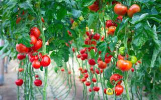 Какой сорт высокорослого томата выбрать