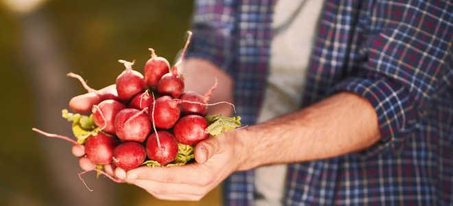 Какие сорта редиса вырастить на огороде