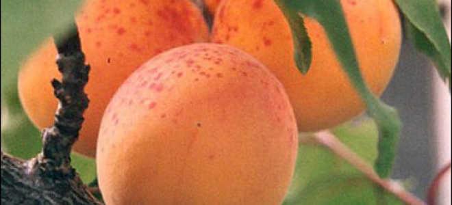 Как вырастить абрикос