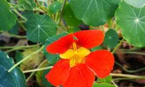 Способы выращивания и виды настурции