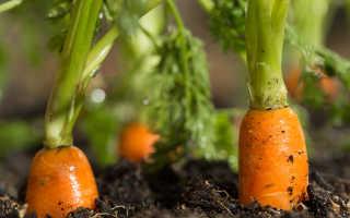 Сажаем морковь в зиму и другие правила хорошего урожая
