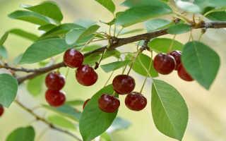 Вредители вишни и методы борьбы
