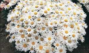Садовые ромашки (Нивяники) посадка и уход