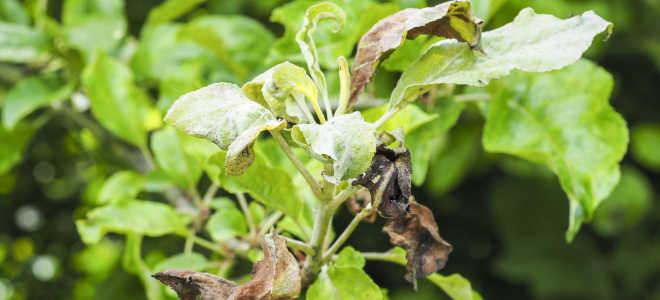 Борьба с пятнами на листьях яблони