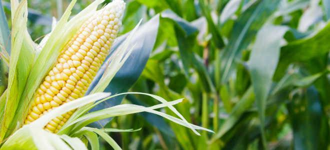 Способы выращивания кукурузы