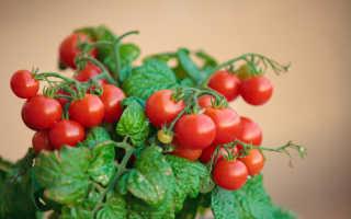 Выращивание и правильный уход за томатами Черри